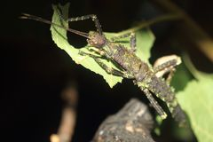 Thorny devil stick insect Stock Image