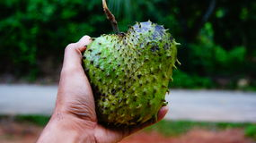 Thorny fruit. Exotic, exoticism,asian, background, color,delicious, durian, food, fresh, fruit,green, internal, isolated,length,nature,piece, plain, ripe, scent Royalty Free Stock Photo