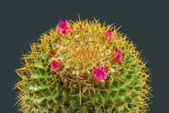 Thorny Issue. A macro of the top of a flowering cactus plant covered in dew drops, depicting a very thorny issue but quite pretty isolated on a dark background Royalty Free Stock Images