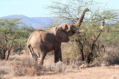 A Thorny Meal. Same old bull elephant using his trunk to get the leaves from between the thorns Royalty Free Stock Images