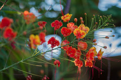 Thorny ornamental vines. Bushes, and trees with yellow, orange and red flowers stock image