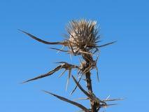 Thorny plant. Sear, dangerous thorny plant Stock Image