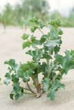 Thorny plants growing on the beach in the sand, Stock Photos