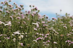 Thorny plants spontaneous in flowering. Overall view of a field of thorny plants spontaneous in flowering, sicily, landscape cut Stock Image