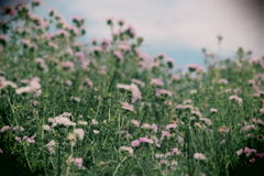 Thorny plants spontaneous in flowering. Overall view of a field of thorny plants spontaneous in flowering, sicily, landscape cut, toy camera filter Stock Photo
