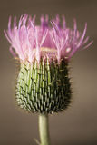 Thorny purple flower bloom Royalty Free Stock Image