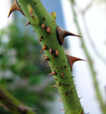 Thorny rose branch. A closeup of the thorny stem of a rose plant stock images