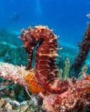 Thorny Sea Horse seahorse Red Sea. Rare black thorny seahorse in grass bed royalty free stock photos