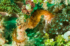 Thorny seahorse in Ambon, Maluku, Indonesia underwater photo Stock Image
