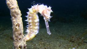 Thorny seahorse Hippocampus histrix in Lembeh strait. Indonesia stock video footage