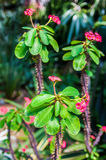 Thorny Succulent With Pink Blooming Royalty Free Stock Image