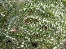 Thorny thicket Stock Photography