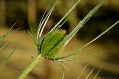 Thorny thistle Stock Photography