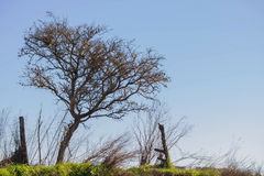 Thorny tree on clear sky. Thorny tree in the field on clear sky stock image