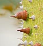 Thorny Trunk of Silk Floss- Cebia speciosa- Tree. Close-up photo of Thorny Trunk of Silk Floss- Cebia speciosa- Tree Royalty Free Stock Photography