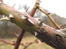 Thorny twig Royalty Free Stock Photos