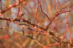 Thorny twigs Royalty Free Stock Photos