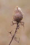 Thorny Wrap. The now woody thorny spikes of a thistle flower wrap around its slender stem to help protect the seeding flower. The solitary flower, with it own stock photo