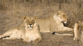 Thornybush lionesses Stock Photography