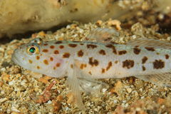 Thorogobius ephippiatus - Leopard goby stock photo