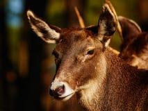 Thorold的鹿在一个黑暗的森林里 免版税图库摄影
