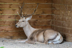 Thorold's Deer (Cervus albirostris) or White-Lipped Deer Stock Photography
