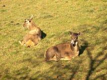 Thorold's white-lipped deer Stock Photo