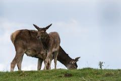 Thorolds hjortar (Cervusalbirostris) eller Vit-Lipped hjortar Royaltyfri Bild