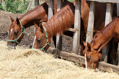 Thorougbred young horses chewing hay on the ranch Royalty Free Stock Photo