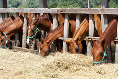Thorougbred young horses chewing hay on the ranch Stock Image