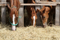 Thorougbred young horses chewing hay on the ranch Royalty Free Stock Image