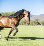 Thoroughbred άγριο άλογο Στοκ Φωτογραφία
