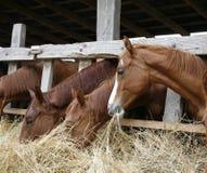 Thoroughbred άλογα κάστανων που τρώνε το σανό στο σταύλο Στοκ Εικόνες
