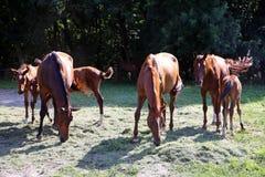 Thoroughbred άλογα gidran που τρώνε τη φρέσκια κομμένη χλόη σε ένα αγροτικό αγρόκτημα αλόγων Στοκ Φωτογραφία