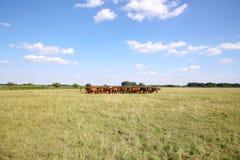 Thoroughbred άλογα gidran που τρώνε τη φρέσκια πράσινη χλόη στο puszta Στοκ Εικόνες