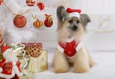 Thoroughbred κινεζικό λοφιοφόρο σκυλί που ντύνεται σε ένα κοστούμι Χριστουγέννων Στοκ εικόνα με δικαίωμα ελεύθερης χρήσης