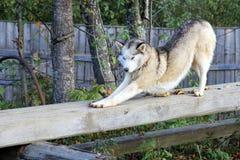 Thoroughbred σκυλί κατάρτισης έξω στην εγκάρσια ράβδο στοκ εικόνες