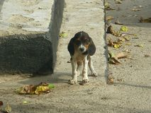 Thoroughbred σκυλί το φθινόπωρο στα βήματα στοκ φωτογραφία