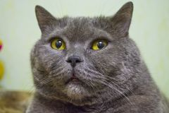Thoroughbred and adult gray short-haired British cat with yellow eyes. Lovely kitten. stock photography