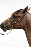 Thoroughbred arabian foal grazing against white background Stock Images