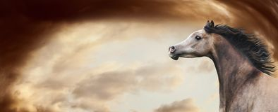 Thoroughbred arabian horse running at awesome dramatic sky background. Horse head with developing mane, banner stock photo