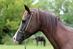 Thoroughbred arabian mare looking at camera on summer pasture. Purebred arabian horse head on natural green background stock photo
