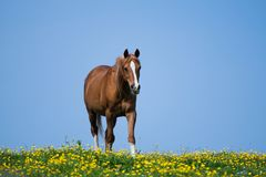 A thoroughbred Arabian Stallion Horse. In a field of yellow Irish Dandelion Wild Flowers royalty free stock image