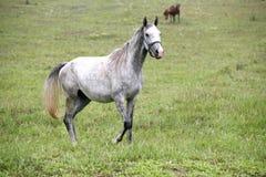 Thoroughbred arabski koński pasanie w łące Zdjęcia Royalty Free