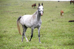 Thoroughbred arabski koński pasanie w łące Zdjęcia Stock