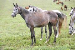 Thoroughbred arabski koński pasanie w łące Zdjęcie Royalty Free
