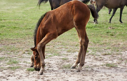 Thoroughbred baby foal Stock Images