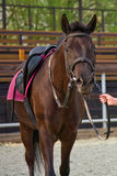 Thoroughbred bay horse. In the background of the racetrack grandstands royalty free stock photos