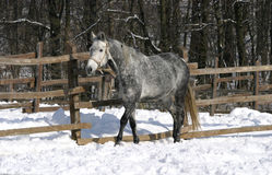 Thoroughbred bay horse in winter corral Stock Image