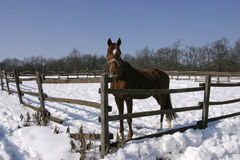 Thoroughbred bay horse in winter corral Stock Photo